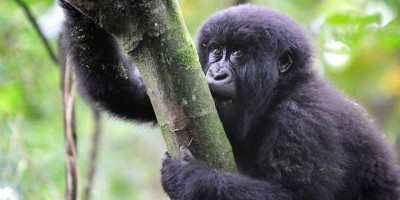 Adventurer Rwandas Gorilla Tracking 1
