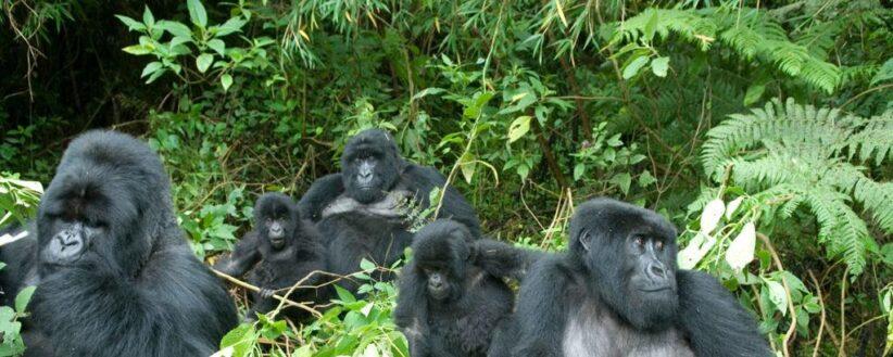 Adventurer Uganda Rwanda Gorilla Trek 1