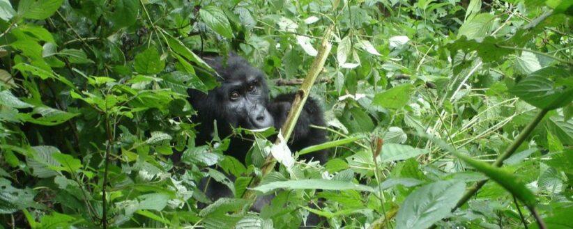 Rwanda Gorilla Encounter 2