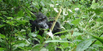 Rwanda Gorilla Encounter