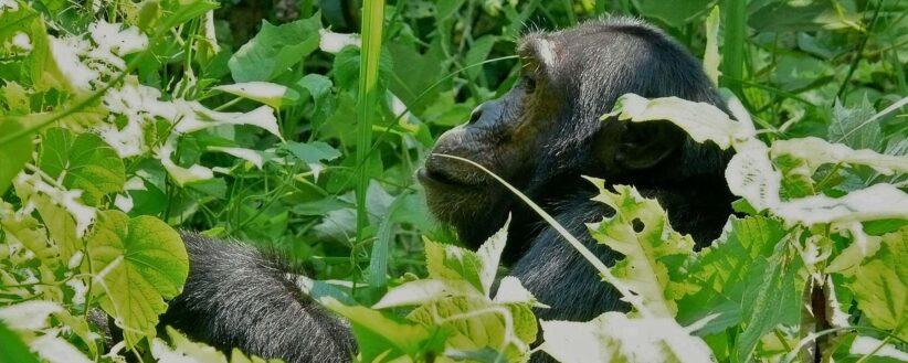 Secret Gorillas Chimps Serengeti Crater 1