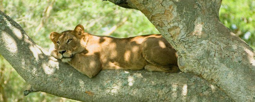 Tree Lion 2 1