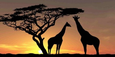 Africa Wildlife Giraffes Trees Sky Photo 950x534 1